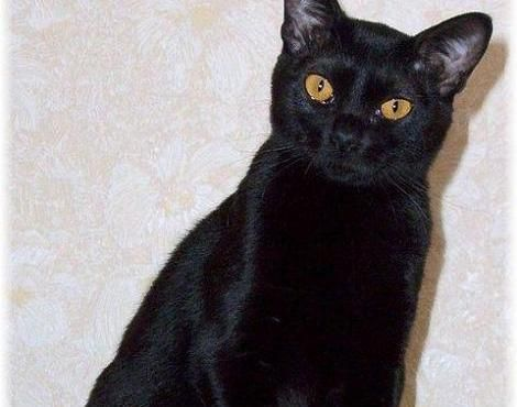 The Bombay Cat Is Thought To Have Been Bred From The Playful Burmese Cat And A Smaller Short Haired Cat In The 1950s The Bo Burmese Cat Bombay Cat Cat Breeds