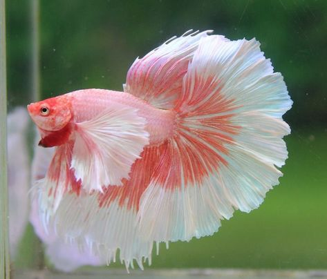 Type of Betta fish. If you are like me and have a strong passion for . - Type of Betta fish. If you are like me and have a strong passion for fresh water … – - Pretty Fish, Cool Fish, Beautiful Fish, Animals Beautiful, Betta Fish Types, Betta Fish Tank, Beta Fish, Fish Tanks, Fish Fish