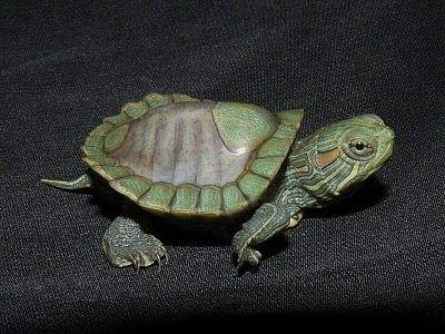 Red Ear Slider Turtle Mouth - Shelless Red Eared Slider