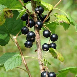 Cassis Ribes Nigrum Arbre Fruitier Arbuste Fruitier Arbuste