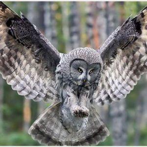 Great Grey Owl Wallpaper Great Gray Owl Wallpaper Great Grey Owl Wallpaper Great Horned Owl Wallpaper Grey Owl Wallpaper Gray Owl Owl Wallpaper