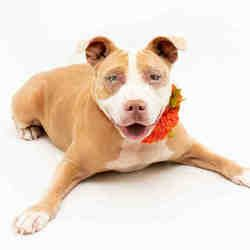 Available Pets At Orange County Animal Services In Orlando Florida American Pitbull Terrier Pitbull Terrier American Pit