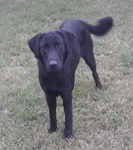 Adopt Felicia 2 On Dog Breeds Labrador Retriever Dogs