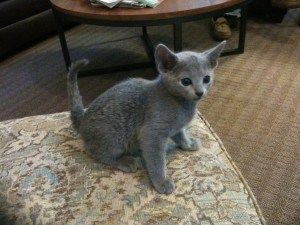 Russian Blue Cats For Sale In Georgia