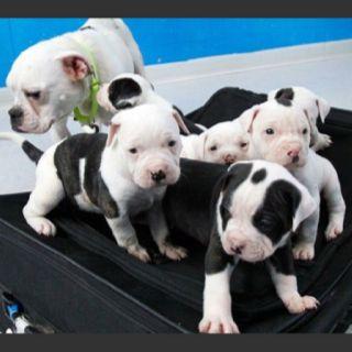 Mucinki Bulldog Puppies Puppy Find English Bulldog Puppies