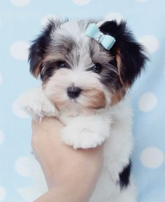 Gorgeous Biewer Yorkshire Terrier Puppy At Teacups Puppies Cute Animals Yorkshire Terrier Puppies Puppies