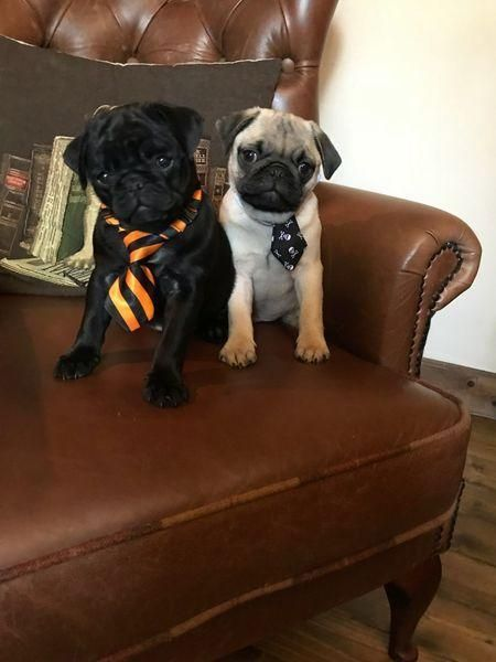 Pug Puppies For Sale Springfield Il Pug Puppies For Sale Pug