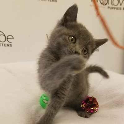 Russian Blue Kittens For Sale Long Island Ny Russian Blue