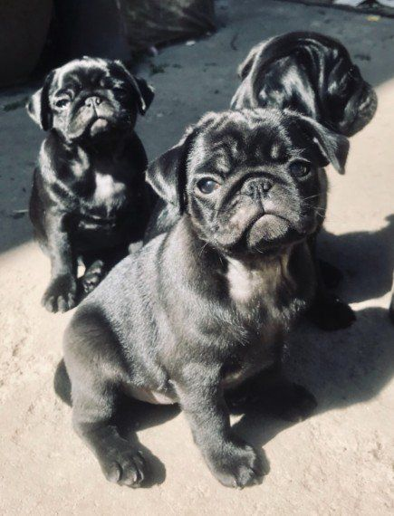 Truly Exceptional Kc Reg Pug Puppy Pug Puppies Puppies Pugs