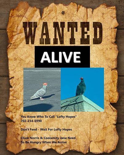 Pigeons Wearing Cowboy Hats Are Roaming Las Vegas And Nobody