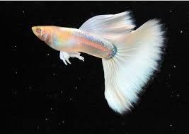 Jenis Ikan Guppy Paling Cantik Dan Termahal Ikan Hias Guppy Fish Guppy Fish