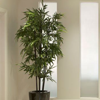 Black Bamboo Our Trees And Plants Pinterest Indoor