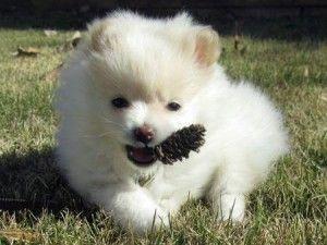 Female Teacup Pomeranian Puppy Kansas City Mo Asnclassifieds