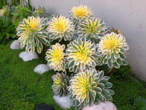 Dudleya pulverulenta Inhabituel succulentes graines!