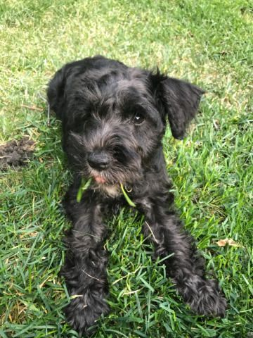 Sweet 4 Month Schnoodle Dogs Puppies For Rehoming Edmonton Kijiji Schnoodle Dog Schnoodle Puppies