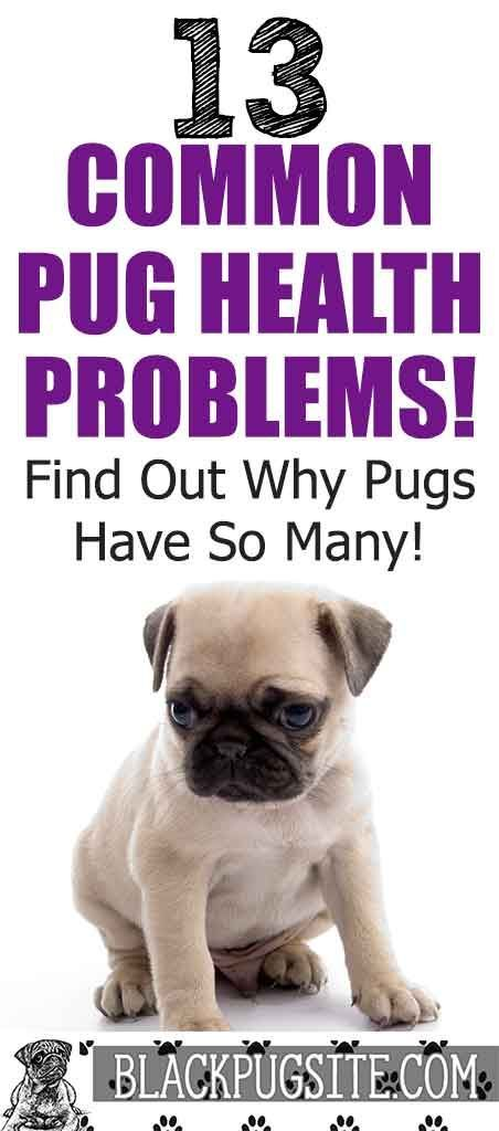 The Top 13 Pug Health Problems Find Out What Type Of Health