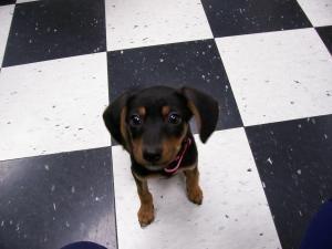 Jewel is an #adoptable Beagle Dog in #Carthage, #MISSOURI