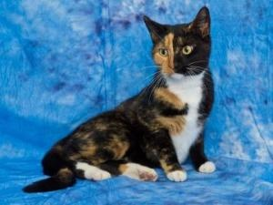 Honey is an adoptable Domestic Short Hair Cat in Dayton, OH. With her unique markings and sweet disposition, Honey is easy to love. She is very affectionate and loves having her head scratched. ...
