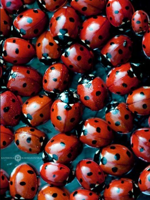 #ladybugs  #red  #black