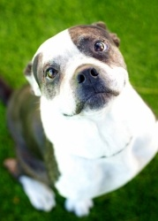 Meet Chance, he's a Pit Bull Terrier ready for adoption in Tucson, AZ