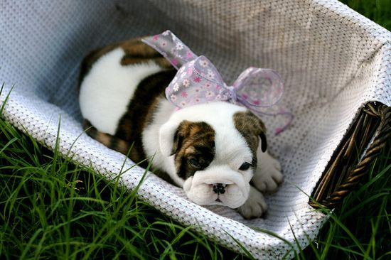 Too incredibly precious for words!!! ? #baby #basket #bow #girl #cute #dogs #puppies #bulldog #English #pets #animals