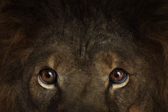 Lion eyes in Affinity by Brad Wilson.