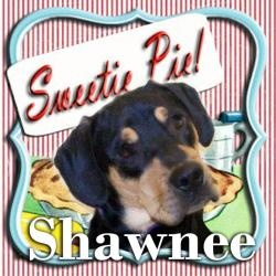 I'VE BEEN ADOPTED!!!   in PA: Shawnee is an adoptable Rottweiler Dog in Mechanicsburg, PA. Dylan is a very handsome shepherd mix.  He is 16 weeks old and weighs 20 pounds. He will probably be on the smaller side as an adult. His c...