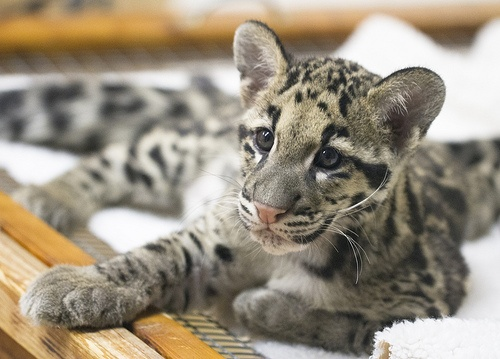 Baby Clouded Leopard, one of Lucy's favorites