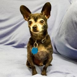Ernie is an adoptable Chihuahua Dog in Arlington Heights, IL.  ...