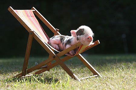 lounging piglet