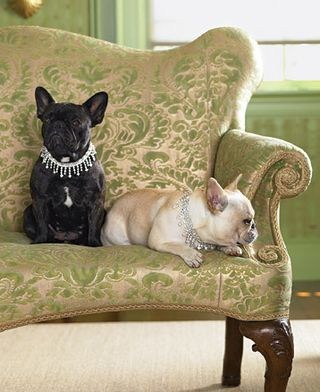 french bulldogs--little queens.