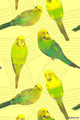 Parakeet iPhone Wallpaper