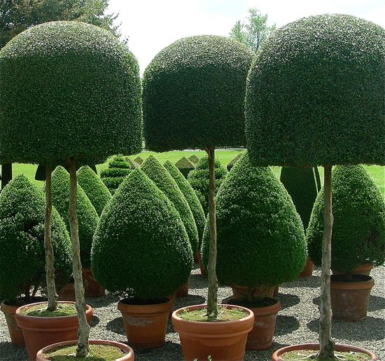 Topiary trees and shrubs.