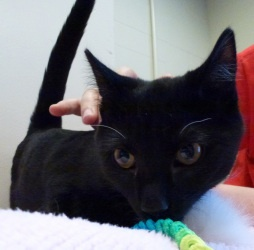 NEW JERSEY ~ Nikki is an adoptable Domestic Short Hair-Black Cat in Woodbridge  ...she's lookng for a prrr-fect fur-ever home ~ if that's with you meet her at WOODBRIDGE TOWNSHIP ANIMAL CONTROL, Woodbridge, NJ  732-855-0600 X 5007