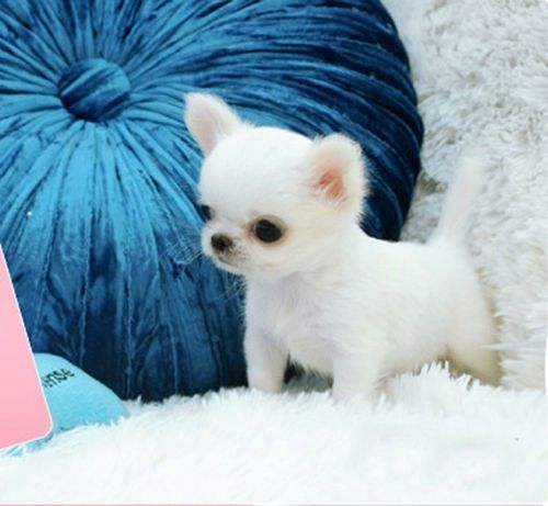 is this... no, it can't be... it's a baby chihuahua!!  Get great products @ www.petproductadv...