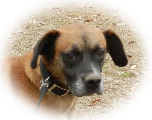 No longer available.  COURTESY:URGENT: Beau is an adoptable Black Mouth Cur Dog in Sylvania, GA. He is the loving companion for an elderly lady who has fallen ill and can't care for him any longer.