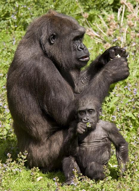 Port Lympne Wild Animal Park: Mother  Baby Gorilla by BennersDesign on Flickr.