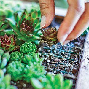 Planting succulent cuttings