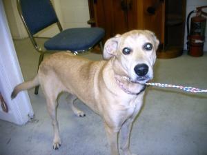 Bashful is an adoptable Labrador Retriever Dog in Emporia, VA.  ...
