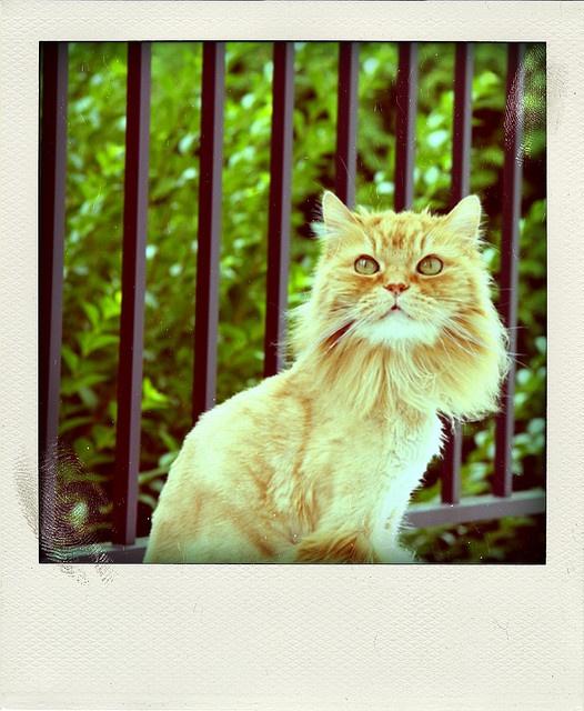 lion cut #cat