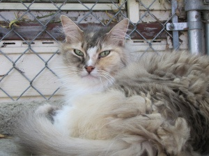 Rosemary is a senior adoptable Domestic Long Hair Cat in Denver, CO. @ShelterPetProject