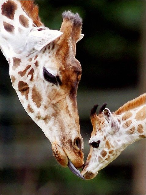Cute Baby Animals - Giraffe