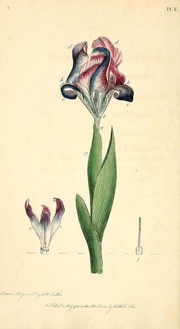 biodiversitylibra... ~ Tulip