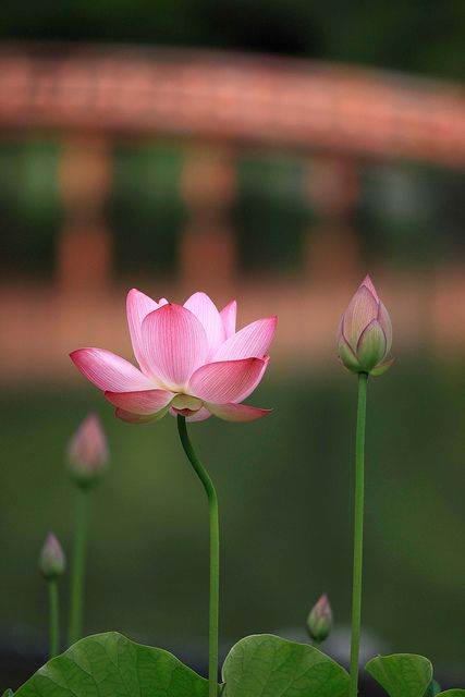 a lotus flower by chibitomu, via Flickr