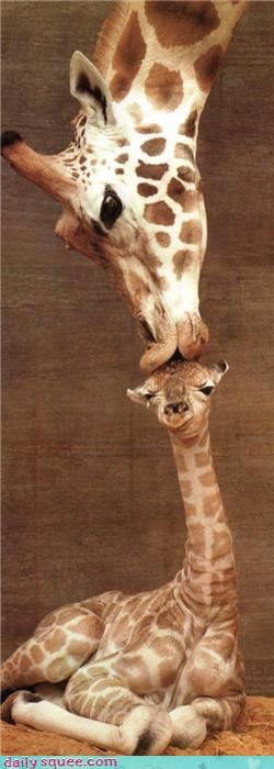 Smooch #mother #animal #love #giraffe #giraffelove #baby