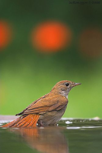 The Common Nightingale or simply Nightingale(Luscinia megarhynchos), also known as Rufous Nightingale, is a small passerine bird that was formerly classed as a member of the thrush family Turdidae, but is now more generally considered to be an Old World flycatcher, Muscicapidae. It belongs to a group of more terrestrial species, often called chats.