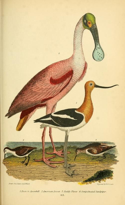 Spoonbill, Avoset, Plover, Sandpiper. American ornithology; or, The natural history of the birds of the United States v.2. London,Cassell, Petter & Galpin[187-] Biodiversitylibrary. Biodivlibrary. BHL. Biodiversity Heritage Library