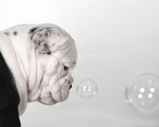 Bulldog english bulldog dog bubbles animals pets by SusanneCphoto, $20.00