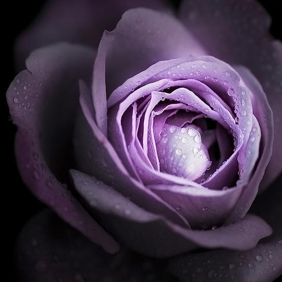 ~~ rose ~~