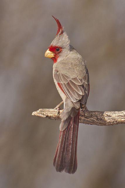 ? Pyrrhuloxias, also know as Mexican Cardinal